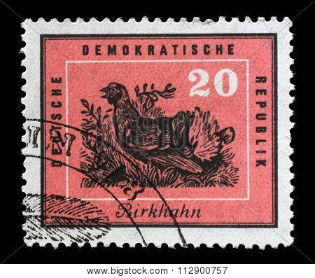 GDR - CIRCA 1959: a stamp printed in GDR shows Black grouse, Tetrao tetrix, Protection of Native Birds, circa 1959