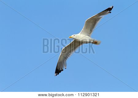 Caspian Gull Over Colorful Sky