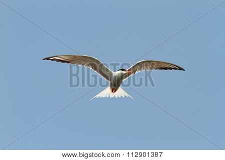 Common Tern Over Blue Sky