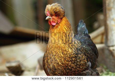 Funny Hen Portrait