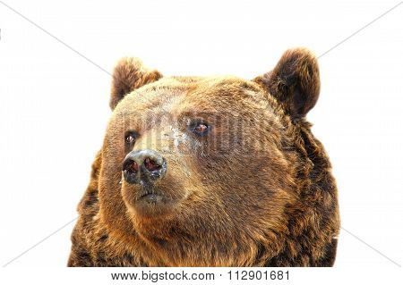 Isolated Portrait Of A Big Bear