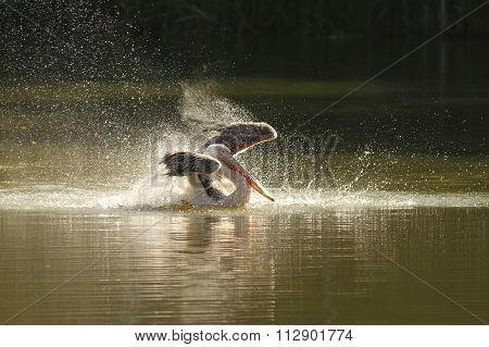 Pelecanus Onocrotalus Splashing Water