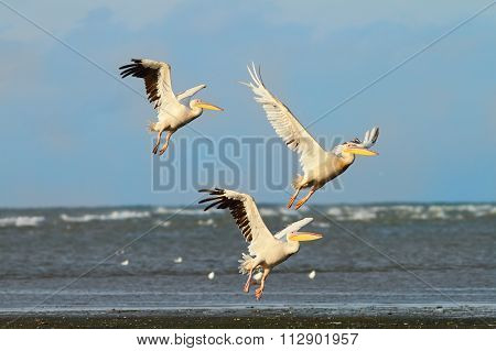 Three Great Pelicans Taking Flight Over The Sea