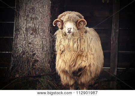 Vintage Image Of A Big Ram