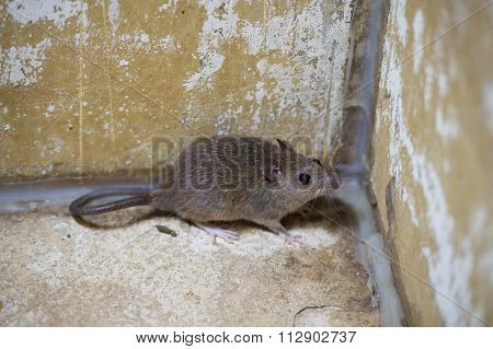Brown Rat In Mortar Tubs