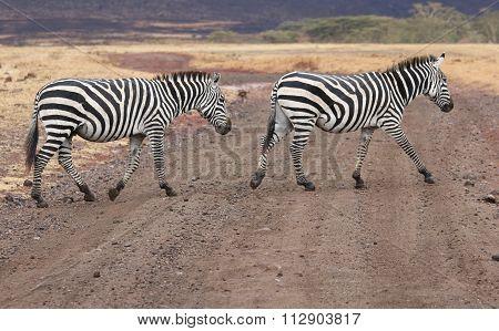 Two Zebras Crossing a Road