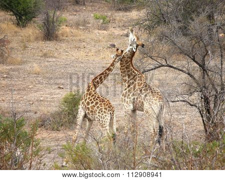 wild giraffe in Kruger National Park, South Africa.