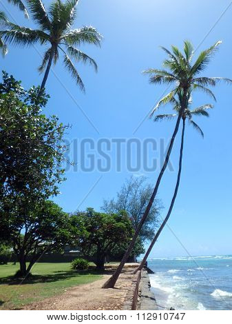 Coconut Trees Hang Over Stone Path Along Cliff Shore Next To Shallow Ocean Waters Of Waikiki