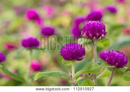 Globe Amaranth Beauty Flower, Bachelor Button