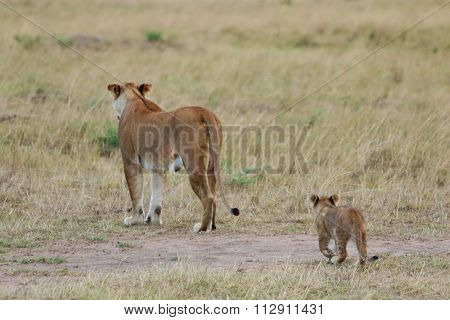 Lioness Mother and Cub Walking