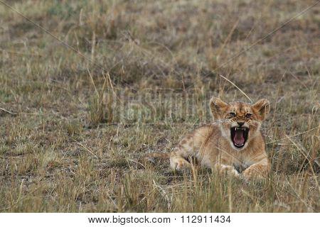 A Lion Cub Roaring