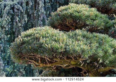 Beautiful Pine Branch Closeup