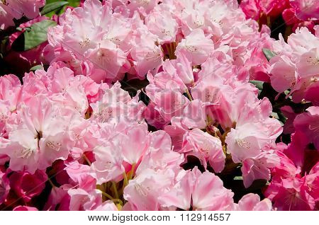 Beautiful Pink Flowers In The Garden