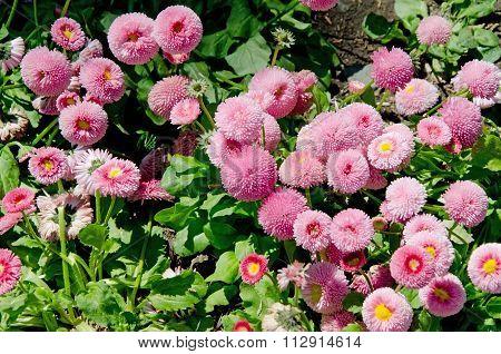 Pink Chrysanthemums Close-up
