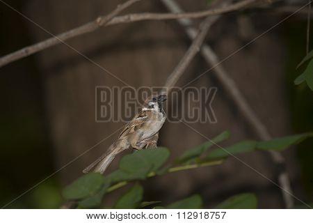 Brown Birdie