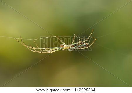 Green Spider  On Spider Web