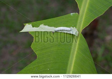 Banana leaf damage by Banana skipper butterfly.