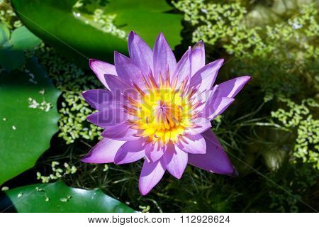 The Wather Lilly Name Is Lotus