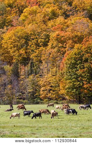 Dairy cows in a field in Vermont