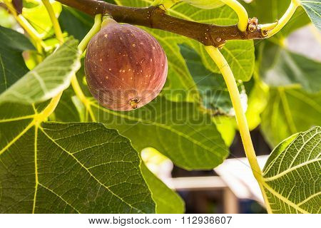 Dripping Ripe Fig On The Tree