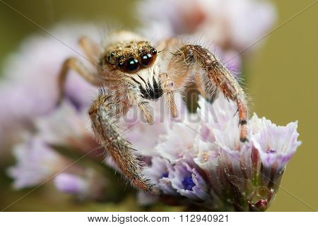 Jumping Spider With Big Eyes On The Flower