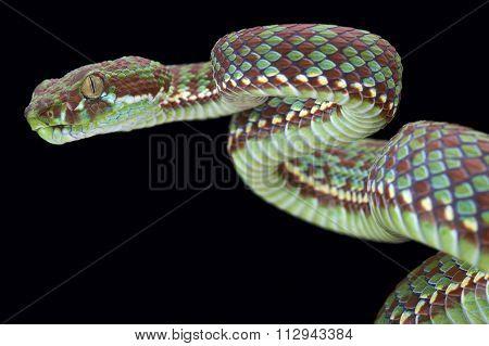 Tiger pit viper (Trimeresurus venustus)