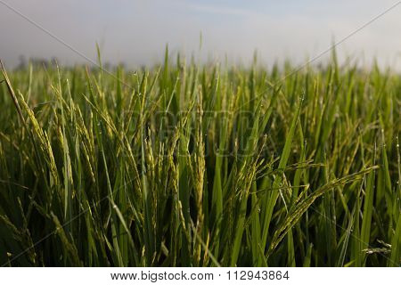 Close up view on rice paddy