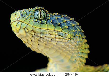 Bush viper (Atheris squemigera)