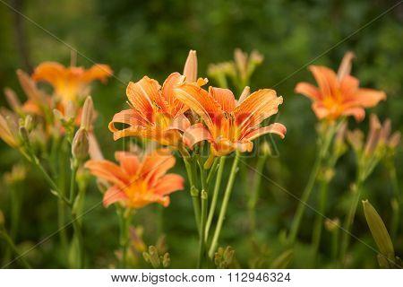 Orange Lilies On A Blurry Green Grass Background