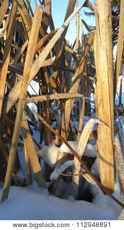 Withered Reedmace
