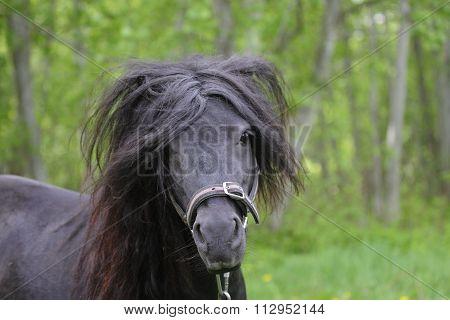 Portrait of a black shetland pony