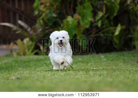 Maltese Dog Running