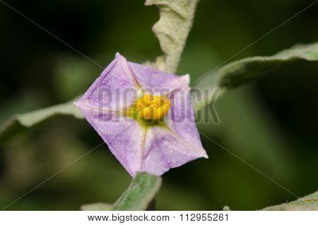 Purple Wild Eggplant Flowers Blooming In Garden