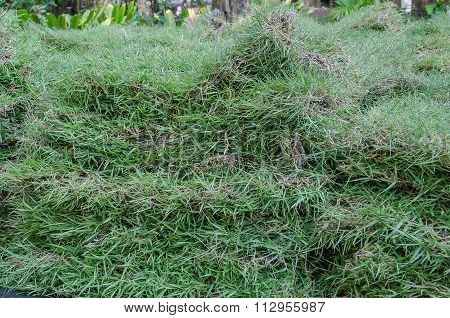 Sheet Grass For Planting