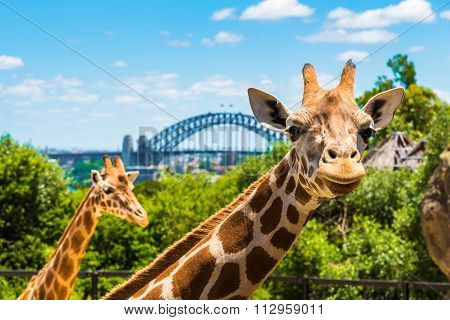 Giraffe at Taronga Zoo in Sydney with Harbour Bridge in background