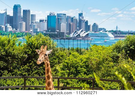 Girraffe at Taronga Zoo in Sydney with Harbour Bridge in background