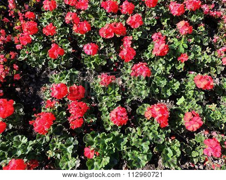 Zonal Pelargonium (Pelargonium zonale), Geranium family