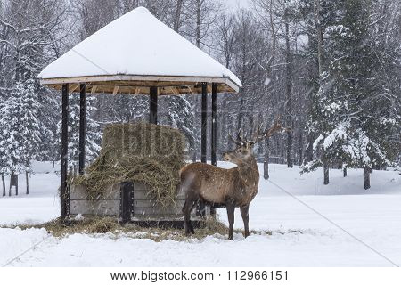 A lone deer in a winter scene