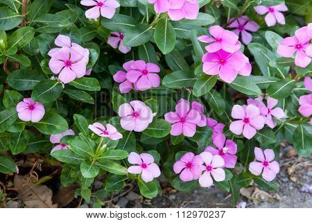 Evergreen Vinca Flower