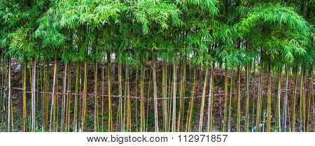 Planter Of Bamboo For Fencing