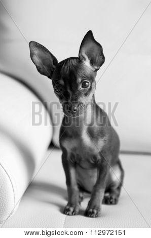 Cute puppy Miniature Pinscher, A black and white photo