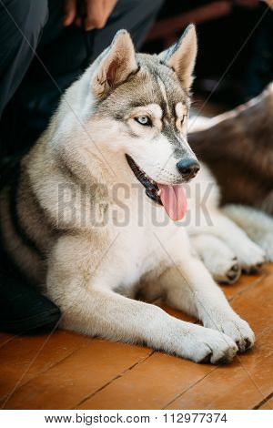Close Up Husky Eskimo Dog