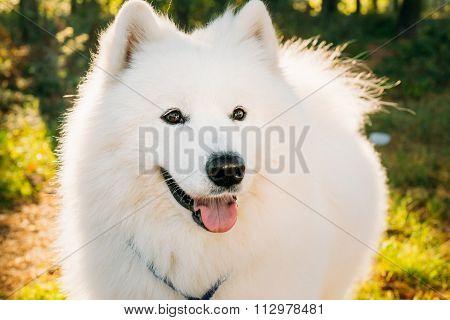 Close Up Funny Happy White Samoyed Dog Outdoor