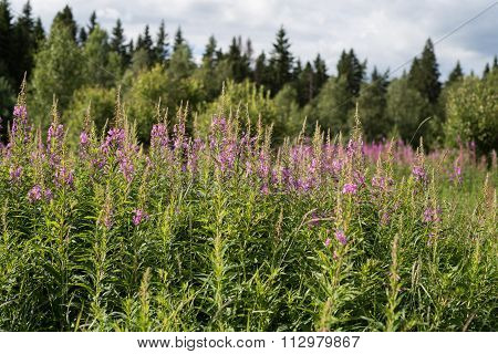 Blossoming Willow-herb Narrow-leaved.ivan Tea