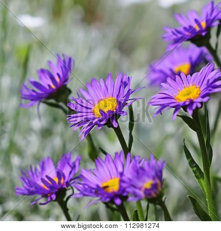The Alpine Aster (Aster Alpinus)