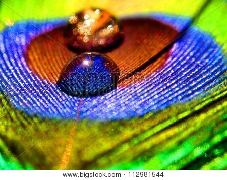 Macro closeup of Water drops on beautiful Indian Peacock's quill with vibrant blue and green color