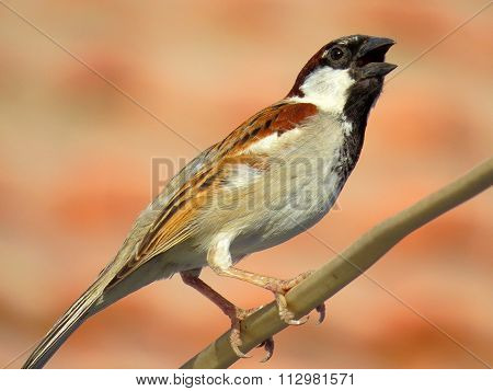 Male House Sparrow perched on electricity wire with reddish blurred background