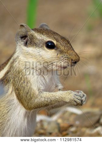Very close portrait of Indian Palm Squirrel