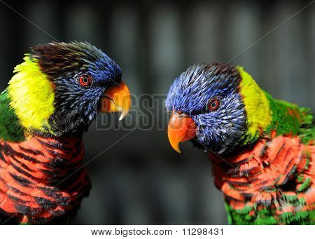 Rainbow Lorikeet Pair