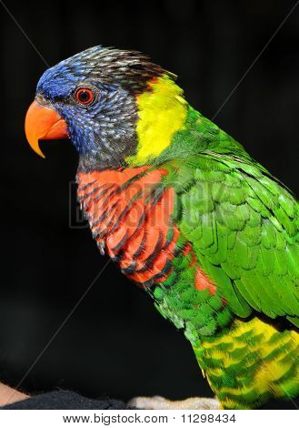 Rainbow Lorikeet Profile